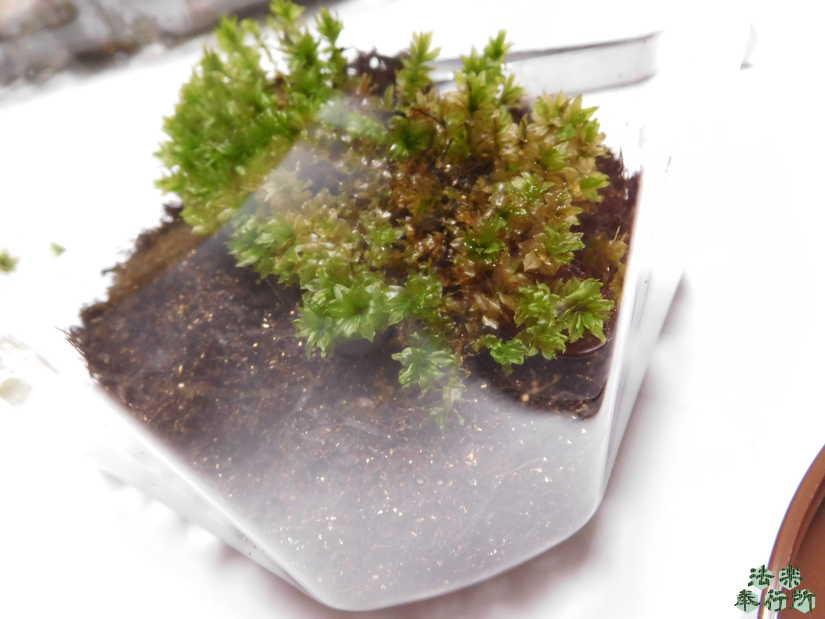 コケリウム コツボゴケ プラスチック容器
